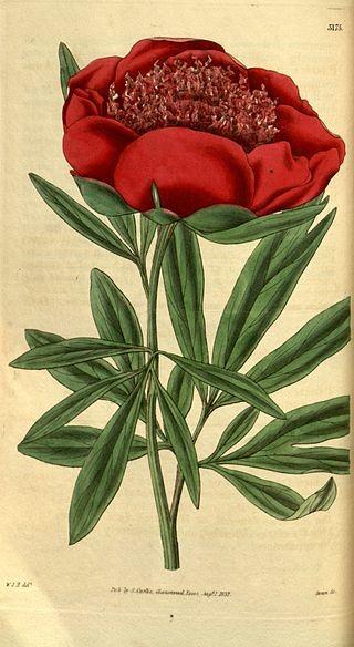 Արջու վարդ