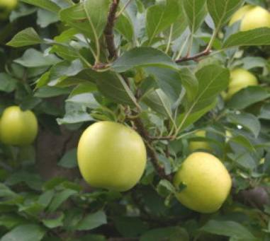 խնձոր